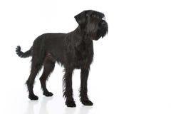 Riesenschnauzerhund Lizenzfreies Stockbild