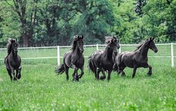 Galloping herd of friesian mares. Riesian mares galloping in the meadow royalty free stock images