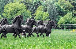 Galloping herd of friesian mares. Riesian mares galloping in the meadow stock photography