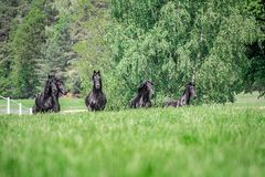 Galloping herd of friesian mares. Riesian mares galloping in the meadow stock images