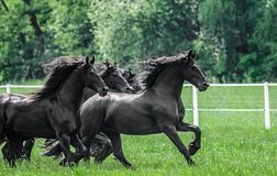 Galloping herd of friesian mares. Riesian mares galloping in the meadow stock photo