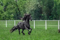 Galloping herd of friesian mares. Riesian mares galloping in the meadow royalty free stock photos