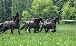Galloping herd of friesian mares. Riesian mares galloping in the meadow royalty free stock photo