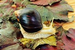 Riesige Afrikaner Achatina-Schnecke auf dem bunten Herbsttraubenblatt genommen Lizenzfreies Stockfoto