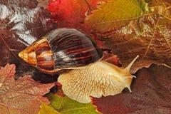 Riesige Afrikaner Achatina-Schnecke auf mehrfarbigem Herbsttraubenblatt Lizenzfreies Stockbild