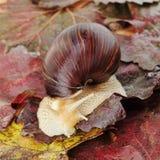 Riesige Afrikaner Achatina-Schnecke auf Traubenblättern Stockfotografie