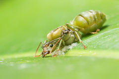 Riesige Ameise, die Eier legt Stockfotografie