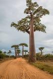 Riesige Bäume in Avenue de Baobab in Madagaskar Stockbilder