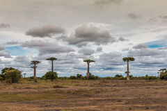 Riesige Bäume in Avenue de Baobab - Madagaskar Stockfotografie