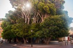 Riesige Bäume in San Sebastian de La Gomera Stockbild