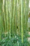 Riesige Bambusse in einem botanischen Garten Stockbild