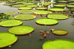 Riesige Blätter der amazonischen Wasserlilien Lizenzfreie Stockfotos