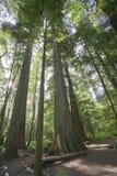 Riesige Douglas-Tannen im mäßigen Regenwald stockfotografie