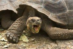 Riesige Galapagos-Schildkröte Lizenzfreie Stockfotos