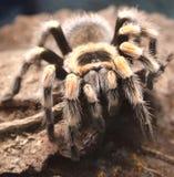 riesige giftige haarige Spinne nah fotografiert lizenzfreies stockbild