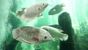 Riesige Goramy Fische stock video footage