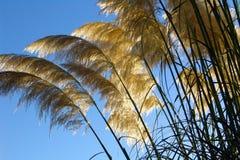 Riesige Gräser gegen Sommersonne Lizenzfreies Stockfoto