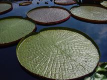 Riesige grüne Lilly Pads lizenzfreie stockfotografie