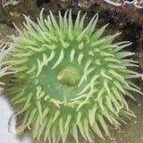 Riesige grünes Seeanemone in einem Gezeitenpool stockbilder
