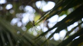 Riesige hölzerne Spinnen (Nephila maculate) stock video footage