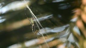 Riesige hölzerne Spinnen (Nephila maculate) stock video