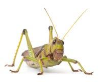 Riesige Heuschrecke, Tropidacris collaris lizenzfreie stockbilder