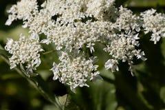 Riesige hogweed Blumen, Heracleum mantegazzianum lizenzfreie stockfotografie
