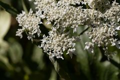 Riesige hogweed Blumen, Heracleum mantegazzianum stockfotografie