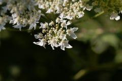 Riesige hogweed Blumen, Heracleum mantegazzianum stockfotos