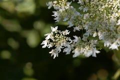 Riesige hogweed Blumen, Heracleum mantegazzianum lizenzfreies stockfoto