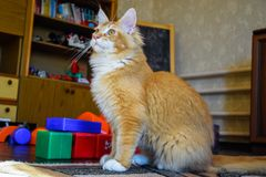 Riesige Maine-Waschbärkatze Mainecoon-Katze, Züchten von reinrassigen Katzen zu Hause lizenzfreie stockbilder
