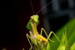 Riesige malaysische Schildgottesanbeterin stockbild