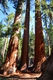 Riesige Mammutbäume stockbilder
