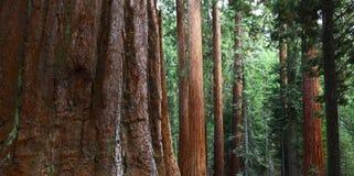 Riesige Mammutbäume in Yosemite Lizenzfreies Stockfoto
