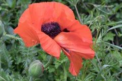 Riesige Mohnblume in der Wiese der wilden Blume lizenzfreie stockfotografie