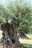 Riesige Olivenbäume Lizenzfreie Stockfotos