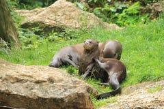Riesige Otter Lizenzfreie Stockfotos