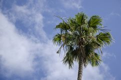 Riesige Palmen entlang den Skylinen Stockfoto