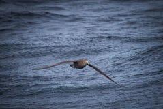 Riesige petral Nordfliegen niedrig zum folgenden Schiff des Wassers Lizenzfreie Stockfotos