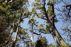 Riesige Prickelnbäume nahe Walpole Lizenzfreie Stockfotos