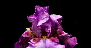 Riesige purpurrote Iris Flower Blooming stock video footage