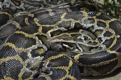 Riesige retikulierte Pythonschlange, Broghammerus reticulatus Stockbilder