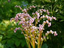 Riesige rockfoil (Bergenia) Blumen Stockfotografie