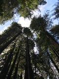 Riesige Rothölzer in Muir Woods, Kalifornien lizenzfreies stockbild