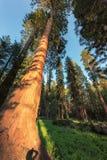 Riesige Rotholz-Bäume im Mammutbaum-Nationalpark, Kalifornien lizenzfreies stockfoto