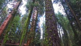 Riesige Rotholzbäume an einem sonnigen Falltag stock video footage
