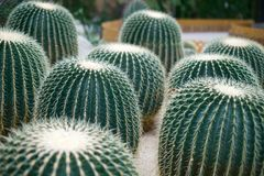 Riesige runde Kakteen im botanischen Garten in Hong Kong Lizenzfreie Stockfotografie