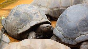Riesige Schildkröten in der Gruppe, die Sonne genießt stockfoto