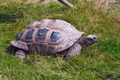 Riesige Schildkröte Stockfotografie
