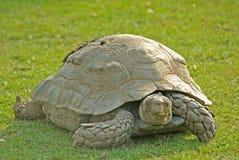 Riesige Schildkröte lizenzfreie stockbilder